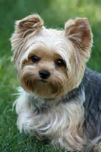 yorkies cute puppies and hypoallergenic dog breed on