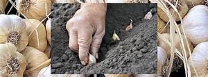 Planter Ail Rose : quand planter l 39 ail rose ou blanc automne ou printemps ~ Nature-et-papiers.com Idées de Décoration