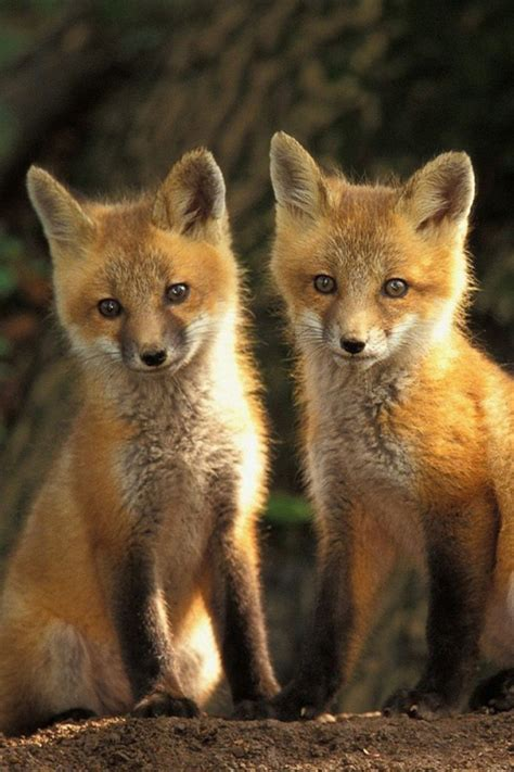 20 baby animal pictures free iphone wallpapers