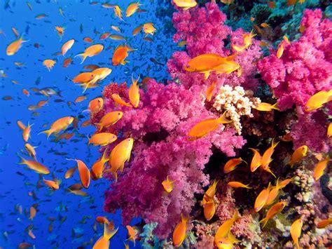 coral reef color sea tropical underwater color reef coral school