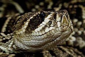 Eastern Diamondback Rattlesnake wallpapers, Animal, HQ ...