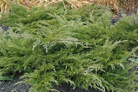 calgary carpet juniper juniperus sabina calgary carpet