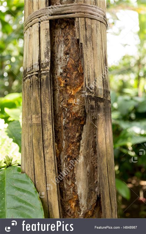 picture  cinnamon tree  bali indonesia