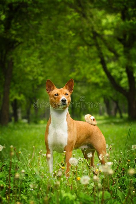 basenji purebred hund rasechte mooie razza bello labrador puppy head dog summer cucciolo hond golden schoener reinrassiger cane zwarte ligt