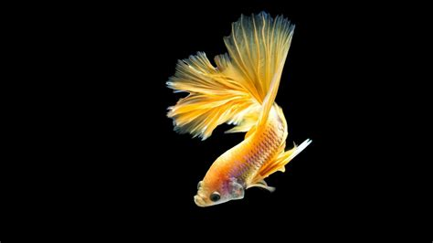 Animated Goldfish Wallpaper - gold fish wallpaper 65 pictures