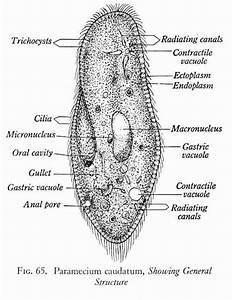 Paramecium Caudatum Diagram