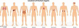 8 Human Body Organ Systems Realistic Educative Anatomy