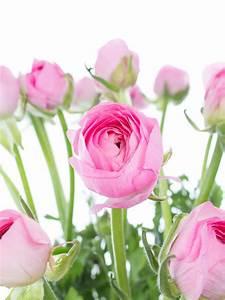 Welche Blumen Blühen Im Mai : rosa ranunkeln der sorte 39 pink 39 und andere fr hjahrsblumen jetzt entdecken auf rosa ~ Eleganceandgraceweddings.com Haus und Dekorationen