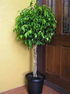 Ficus benjamina Indoor Flower