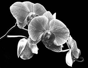Black And White Orchid by Larry Federman