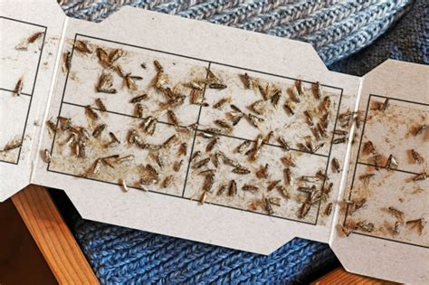 Motten bekämpfen mit Pheromonfallen  Frag Mutti