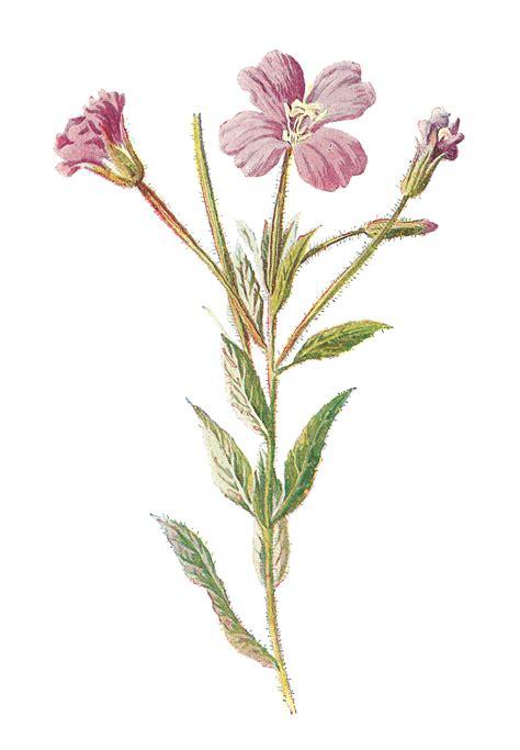 antique images digital flower vintage botanical