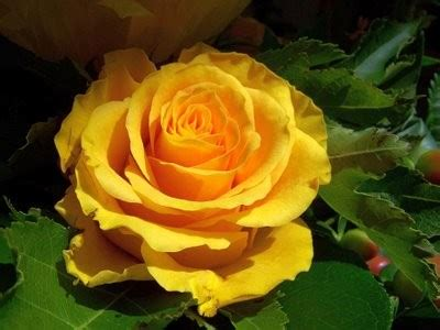 Banho de Rosa Amarela - Como Fazer? | Flores - Cultura Mix