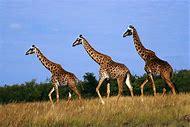 Giraffe Wild Animals