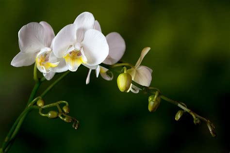 when do orchids bloom how to get orchids to bloom and rebloom