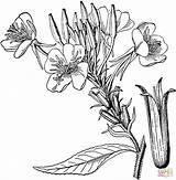 Lavender Coloring Printable Pages Sheet Fresh Getcolorings Getdrawings sketch template