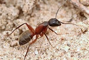Urban Ants Of The Midwestern United States  U2013 Myrmecos