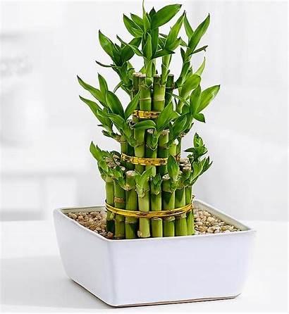Gift Bamboo Lucky Plant Birthday Giftalove 50th