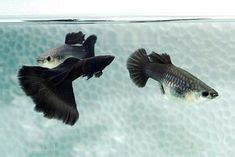 elephant ear platinum red tail guppy pair guppy fish