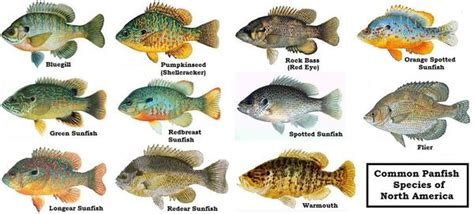 trudy patterson panfishing tips articledesc panfish