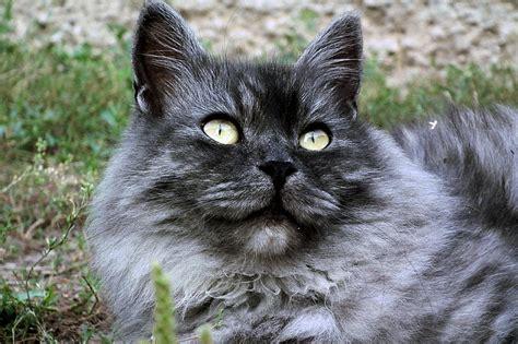 The Stunning Siberian Cat