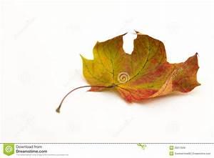 Single autumn leaf stock image. Image of beauty, white ...
