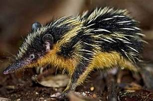 Image result for images of tenrec