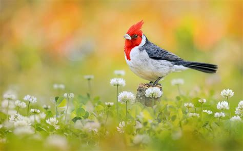 Animal And Bird Hd Wallpaper - crested cardinal hd wallpaper and background