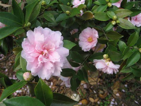 light pink camellia light pink camellia by dragonflyer22 on deviantart
