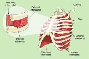 Diagram Of Intercostal Muscles