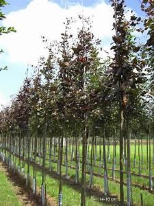 Großen Apfelbaum Kaufen : sie suchen die blutbuche als bereits gro en baum in baumschulqualit t wir liefern professionell ~ Frokenaadalensverden.com Haus und Dekorationen