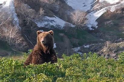 Bear Kamchatka Brown Hunting Bears Land Biggest