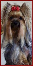 yorkshire terrier zwinger royal tiffanys berlin