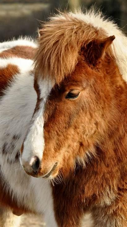 Horse Pony Shetland Animal Furry Samsung