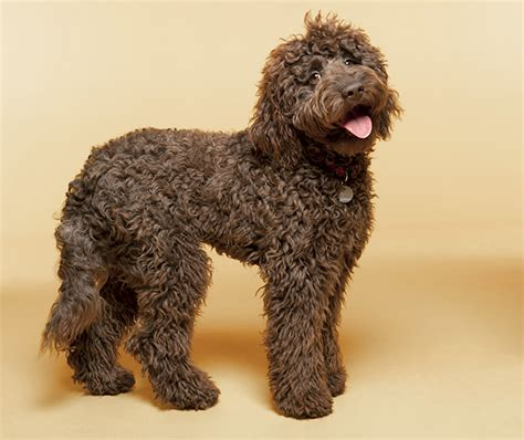 Low Shed Dogs Medium In Size by Labradoodle Dog Breed Information Pictures