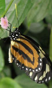 Tiger Queen | lycorea halia | Angie & Chris Pye | Flickr