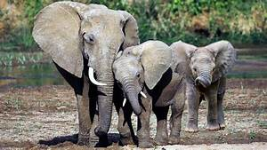 Elephants Being Born Without Tusks Due To Poaching - YouTube