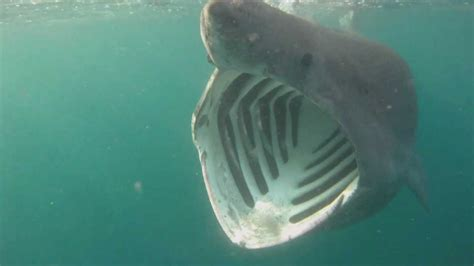 basking sharks cornwall youtube