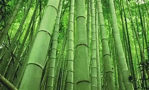 Wie Schnell Wächst Bambus : biobambus der neue stern am biologischen textilhimmel better bio fair und nachhaltig ~ Frokenaadalensverden.com Haus und Dekorationen