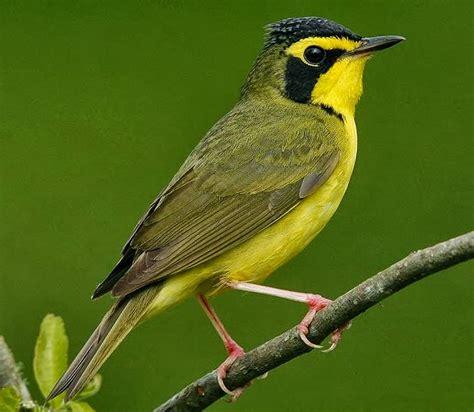 birds of the world kentucky warbler