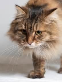 siberian cat personality siberian