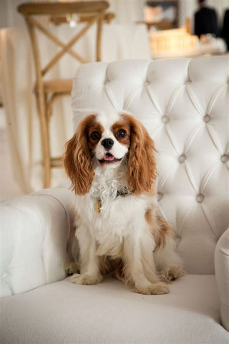 Spaniel Shedding by 25 Best Ideas About Cavalier King Charles On