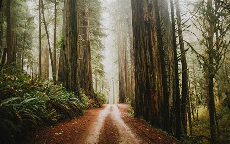 Path In Redwood Forest Hd Wallpaper Background Image