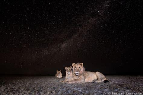 milky  lions burrard lucas photography
