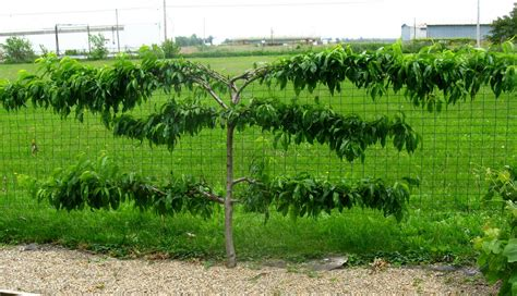 espaliered trees how to espalier fruit trees stark bro s