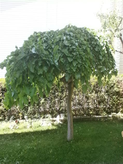 mullberry trees 28 best images about weeping mulberry tree on pinterest mulberry tree agriculture and front yards