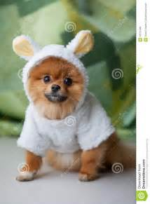 Funny Cute Pomeranian Puppies