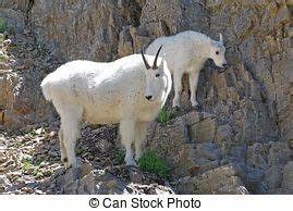 Baby mountain goat Stock Photo Images. 359 Baby mountain ...