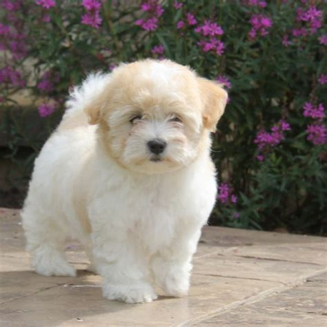 Coton De Tulear Puppies For Sale  Greenfield Puppies