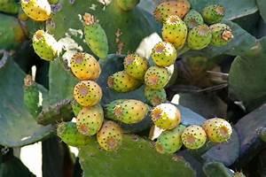 Tropische Pflanzen Kaufen : tropische frucht bl ten samen pflanze exotische fr chte s mereien feigen kaktus ebay ~ Watch28wear.com Haus und Dekorationen